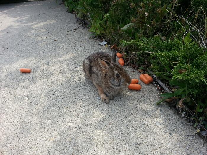 rabbit-released