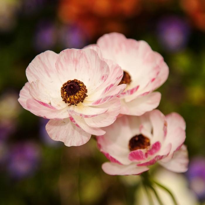 Figure 002 Flowers in Pink