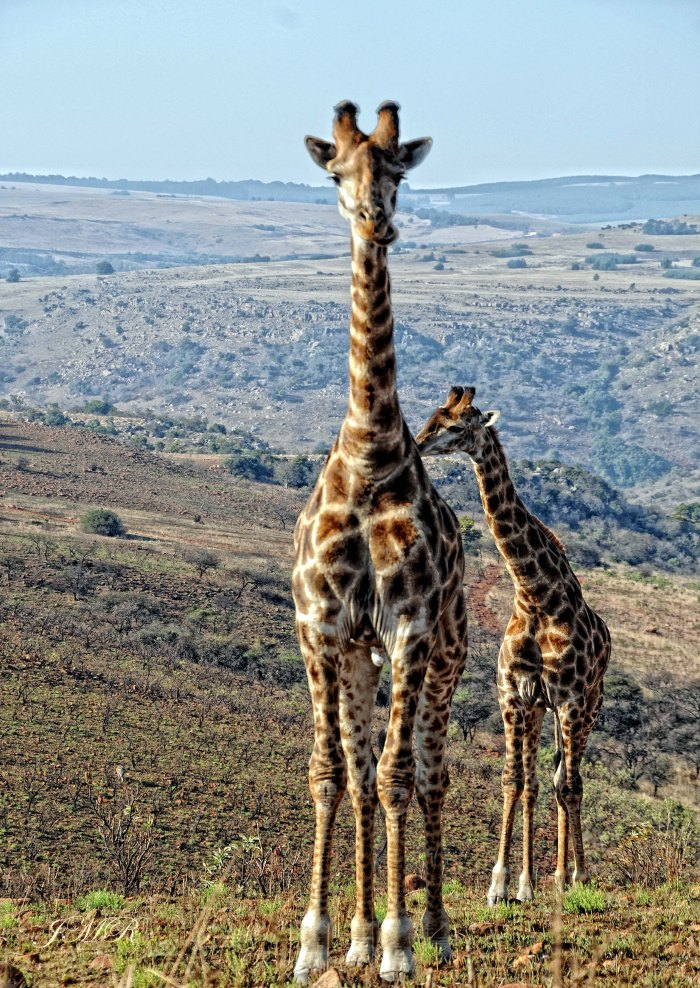 05 Giraffe _ and teen 6228 copy