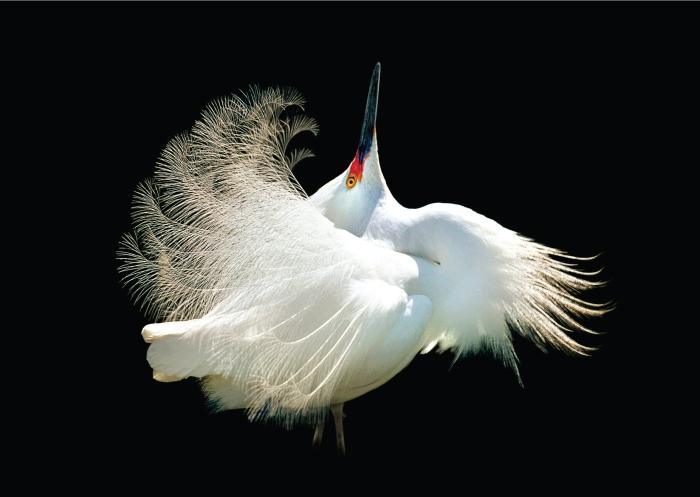 Egrets_Master_white